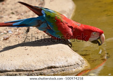 Shutterstock Green-winged macaw (Ara chloroptera) drinking in the pond