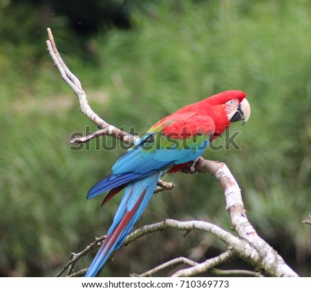 Shutterstock green-winged macaw (Ara chloropterus)