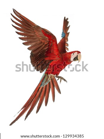 Green-winged Macaw, Ara chloropterus, 1 year old, flying in front of white background - stock photo