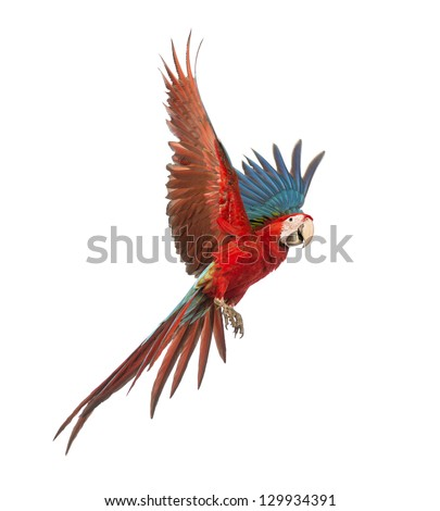Shutterstock Green-winged Macaw, Ara chloropterus, 1 year old, flying in front of white background