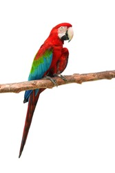 Green-winged macaw bird (Ara chloropterus) perching on branch in front of white background