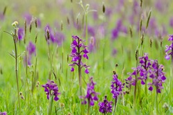 Green winged orchids - orchis morio - at Marden Meadow in Kent. UK