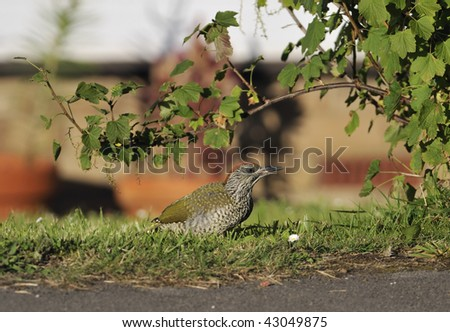 Green Woodpecker chick - Picus viridis