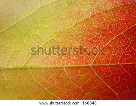 Green yellow and red leaf