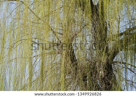 Green-yellow willow branches in spring, branches, branches, blue sky, Germany, Europe #1349926826