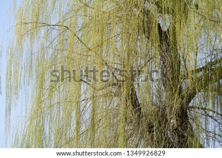 Green-yellow willow branches in spring, branches, branches, blue sky, Germany, Europe #1349926829