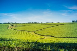 Green Yerba Mate tea plantation field in province Misiones Argentina,