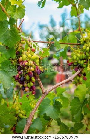 Green young bunches of grapes on the vine. Beginning of summer in a garden growing on vines in a vineyard. #1566709999
