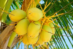 Green young coconuts growing on a palm tree