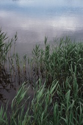 Green young reeds grow in the river. An aquatic plant in a lake.