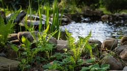 Green young shoots of Matteuccia struthiopteris (ostrich fern, fern or shuttlecock) against blurred background of small garden pond. Selective focus. Pond with stone banks and frog-shaped fountain.