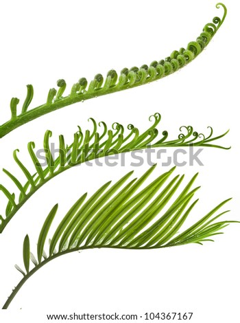 Green young tendril leaf of palm tree on white background