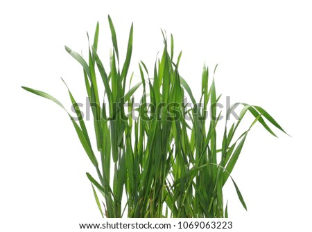 Green young wheat isolated on white background, with clipping path