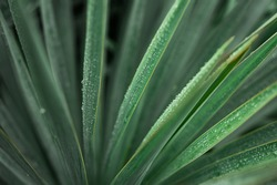 Green yucca leaves in water drops after rain. Palm tree after rain. selective focus. High quality photo
