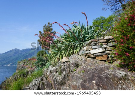 Green yucca plant with red flowers (Beschorneria yuccoides K. Koch) at the shores of the Brissago Island in Lake Maggiore, Switzerland. Stock fotó ©