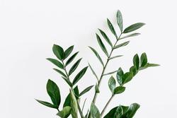 green Zamioculcas zamiifolia plant with white background