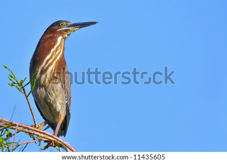 greenbacked heron perched on cypress tree limb against clear blue sky with great copy space
