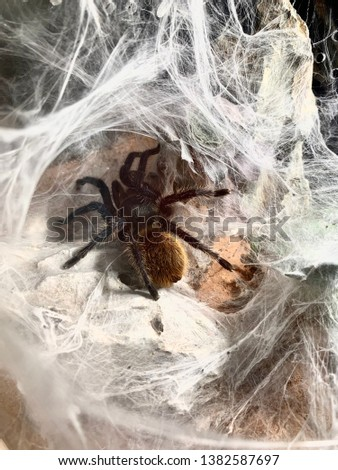 Greenbottle blue tarantula in web burrow