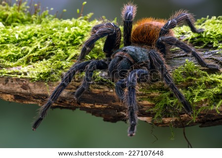 Greenbottle Blue Tarantula on mossy log/Tarantula/Greenbottle Blue Tarantula (chromatopelma cyaneopubescens)