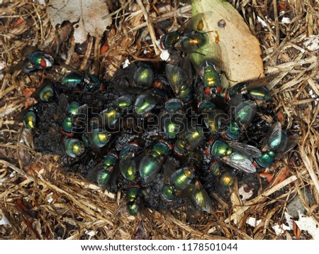 Greenbottle flies feeding on fox excrement. The common green bottle fly is a blow fly found in most areas of the world,