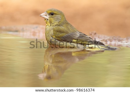 Greenfinch in the bath