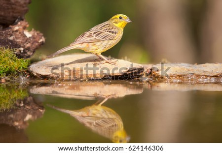 Greenfinch reflected in water #624146306