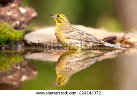 Greenfinch reflected in water #624146372