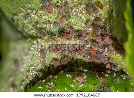 Greenfly aphids feeding on an apple tree leaf Zdjęcia stock ©