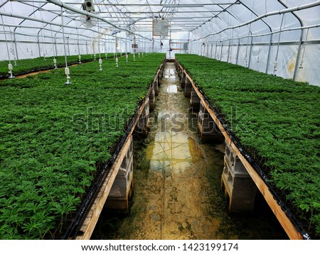 Greenhouse filled with young hemp plants ready to be sold to farmers converting from produce crops to cannabis for more profit. Commercial hemp farming to produce CBD oil and other products.