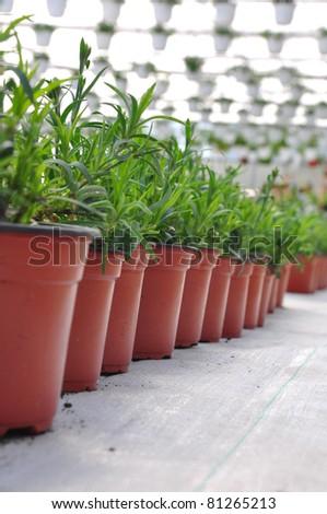 Greenhouse flowers in plastic flower pots