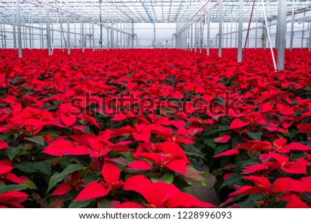 Greenhouse hundreds flowering red poinsettia plants.