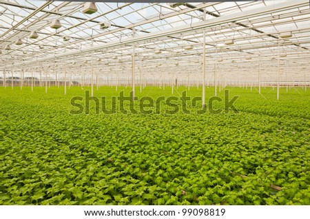 Greenhouse in the Netherlands with many small  Chrysanthemum plants. It will take a few weeks before budding and flowering begins.