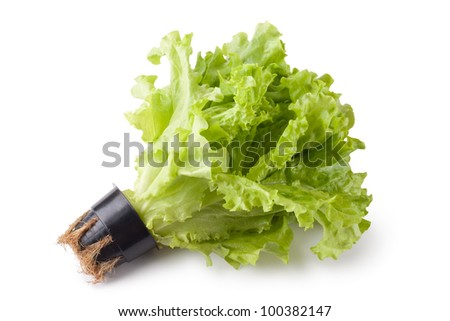 Greenhouse lettuce in a pot. Isolated on a white.