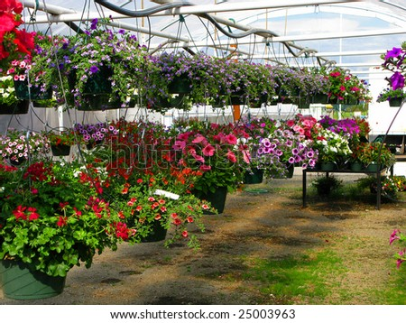 Greenhouse Nursery - Colorful Large Hanging Flower Plants