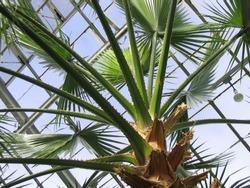 Greenhouse palm tree