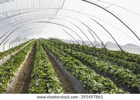 greenhouse strawberries in Lepe, Huelva, Spain
