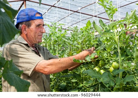 Greenhouse tomato crop being checked by an old bulgarian farmer