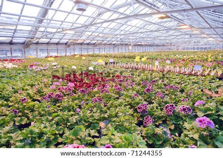 Greenhouse with Geranium plants