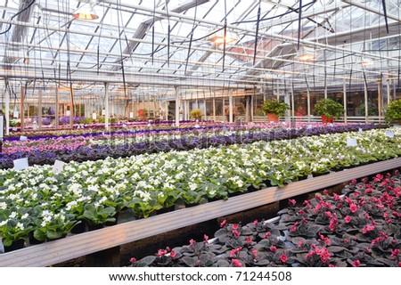 Greenhouse with Saint Paulia plants