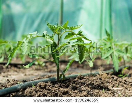 Greenhouse with tomato plants and drip irrigation system. Foto stock ©