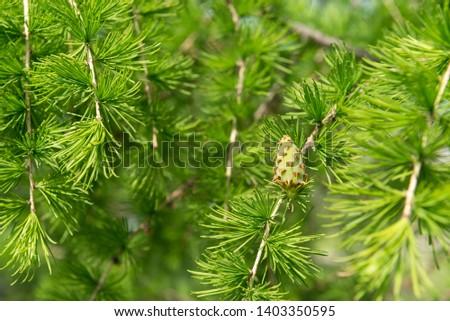 greens, young green fir cone, coniferous tree on the background of fir needles, fir cone, fir branch,
