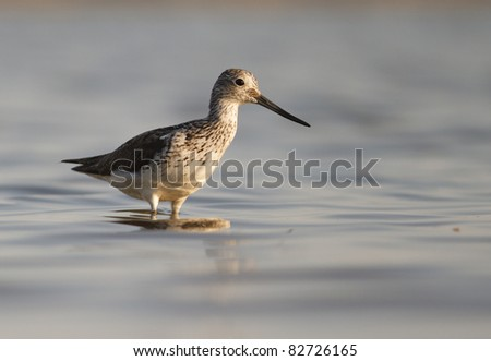 Greenshank (Tringa nebularia) on shore - stock photo