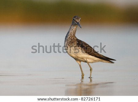 Greenshank (Tringa nebularia) on shore