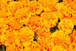 Greetings card backdrop. Floral background. Botany and flora. Tagetes top view. Spring nature concept. Flowers in field. Beautiful orange red marigold flowers background pattern. Marigold flowers.