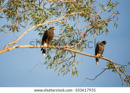 Shutterstock Gregarious hawk found in southwestern USA and Mexico.