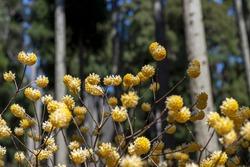 Gregarious oriental paperbush (Edgeworthia chrysantha) in Japanese ceder forest in Japan