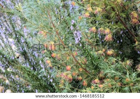 Grevillea Flora Mason, winter flowering Australian native plant planted with Lavender species