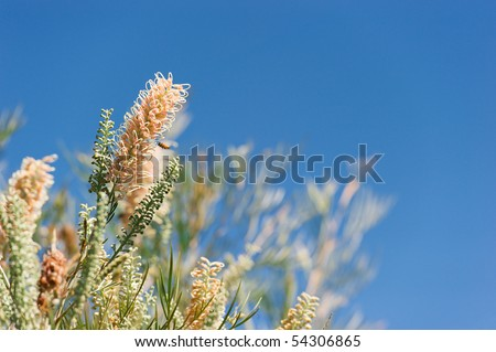 Grevillea flower with copy space. Shallow DOF, focus on main flower. Native to Australia the birds love em!