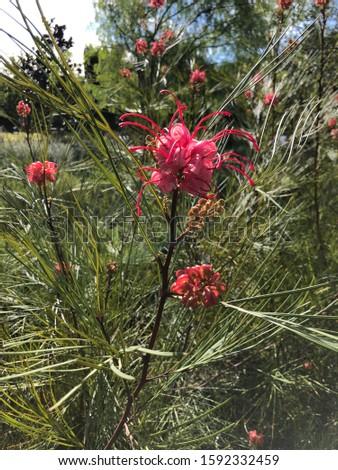 Grevillea Long John in December bloom ストックフォト ©