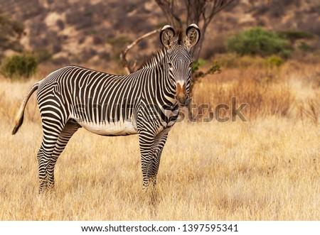 Grevy Grévy's zebra Grevy's Equus grevyi with  black and white narrow stripes in dusty dry golden scrub Samburu Kenya East Africa